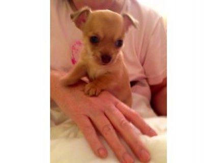 Beautiful Chihuahua Puppies, So small & So cute