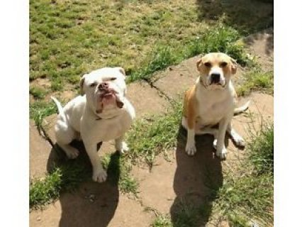 Olde Tyme Bulldoge cross Scott American Bulldog