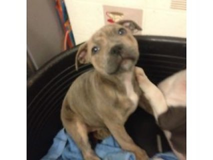 Blue brindle staffy pup **ready to leave **