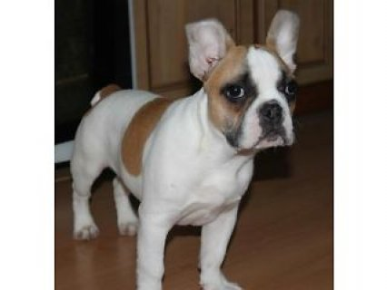 French bulldog puppy male for sale