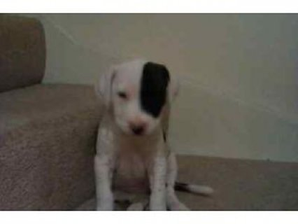 Seven 9 weeks old puppies for sale breed staf/ridg