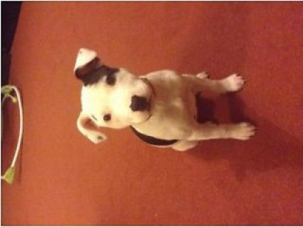 Staffordshire bull terrier male and female staff p