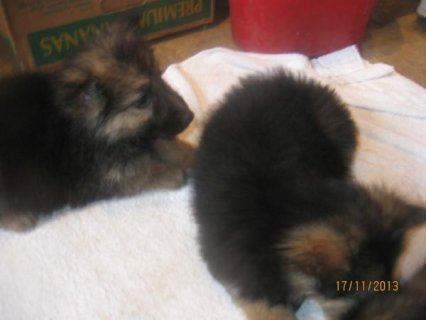german shepherd long coat puppies