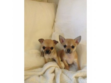 2 BEAUTIFUL TEACUP CHIHUAHUAS! BOTH GIRLS