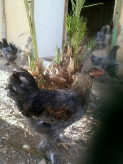 دجاج براهما( بيض وصيصان)