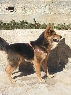 للبيع او التبديل الكلب صغير عمره 4 شهور فقط