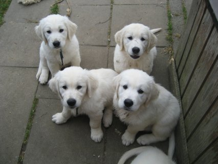 Nice golden retreiverPuppies for good and caring h