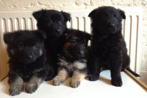 Super german shepherd puppies needing a forever ho