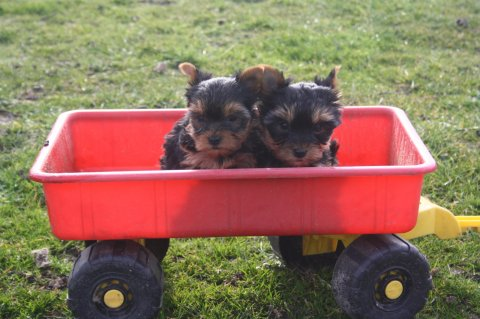 Cute male and female tiny teacup YORKSHIRE puppies