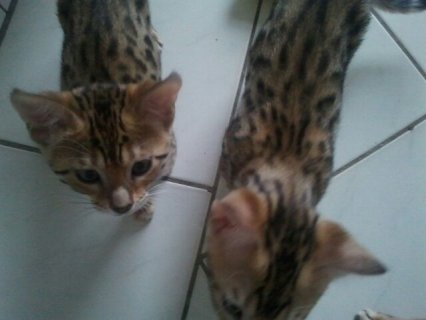 Bengal Kittens - Tica Registered - Health Guarante