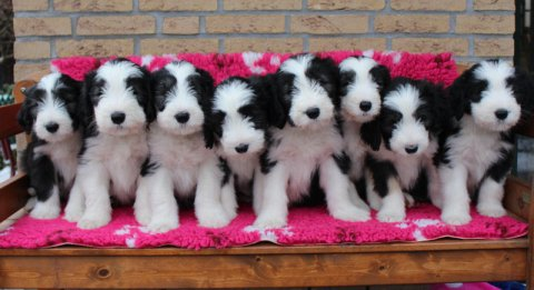 charming male and female border collie raedy to go