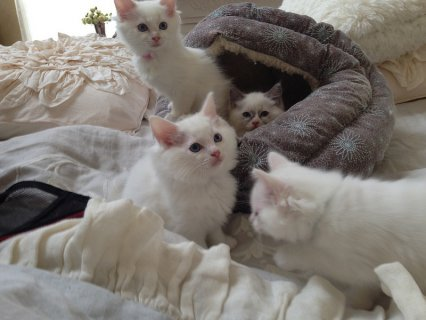 Snow White persian  Kittens for good homes(10weeks