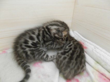 صور Adorable Bengal Kittens for Adoption 1