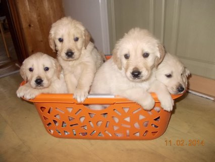 Male and female golden retreiver  puppies are stil