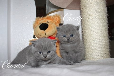 Lovely and cute looking british shorthair  kittens