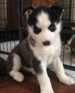 4 healthy black and white KC REG siberian husky pu