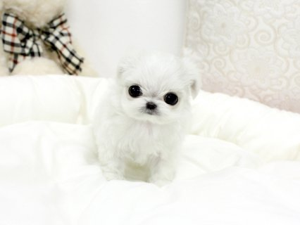 white teacup maltese puppies males and females for