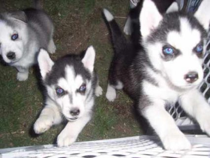 صور Males and Females Husky puppies available for Adop 1
