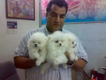 AKC Registered Pomeranian Puppies for good and car
