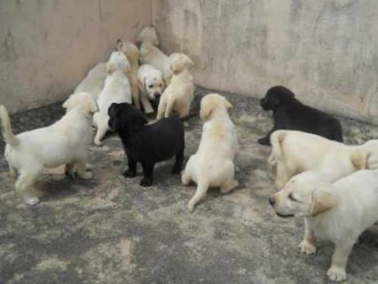 100% healthy Labrador Puppies for adoption