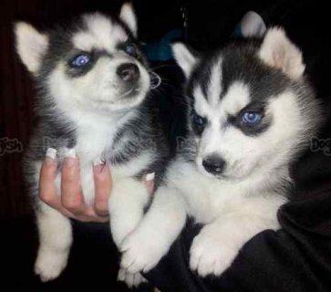 Blue eyes male siberian huksy puppies for adoption