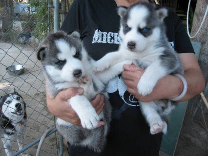 CUTE BLUE EYES SIBERIAN HUSKY PUPPIES READY FOR AD