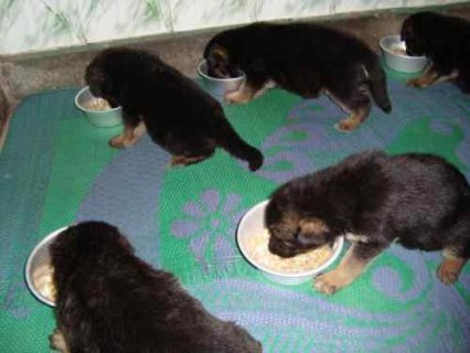 Pure breed German Shepherd Puppies ready for adopt