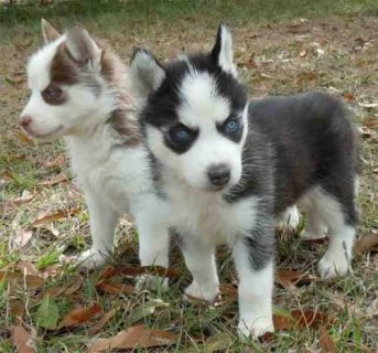 Decent And Well Trained Siberian Husky Puppies for