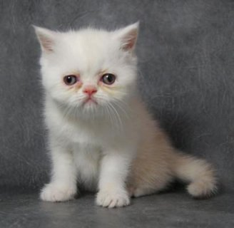 available Persian kittens