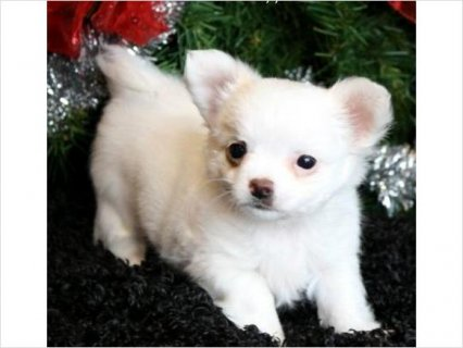 صور Akc chihuahua puppies for adoption 1