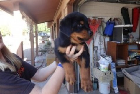 صور Pure breed Rottweiler Puppies 1