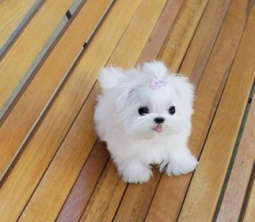 Beautiful Teacup Maltese Puppies Sale