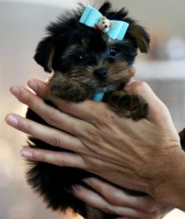 Cute Akc Registered Yorkie puppies To Good & Lovel