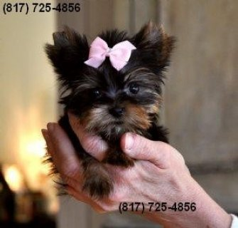 Cute Female Yorkie for Sale