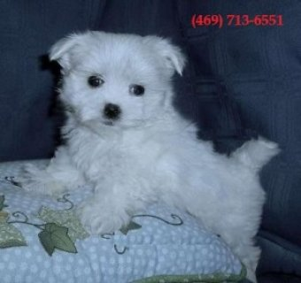 Teacup Maltese Pup for Sale