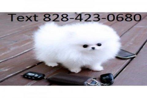 Two beautiful Pomeranian Puppies