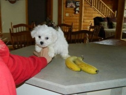 Extra Tiny Maltese Puppies