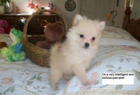 Friendly Tea Cup Pomeranian puppies for loving fam