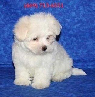 Wonderful little Maltese pups