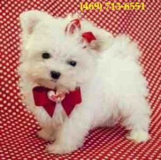2 Cute AKC Teacup Maltese Puppies
