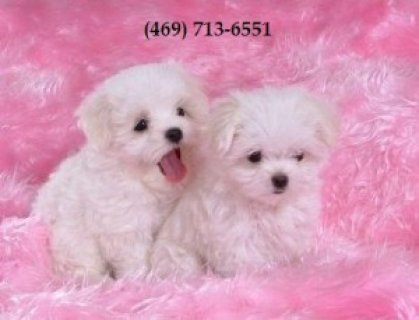 Purebred Maltese Pups for Sale