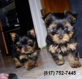 Lovely Yorkies for Sale