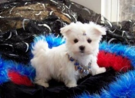 صور Healthy Teacup Maltese for Adoption 1