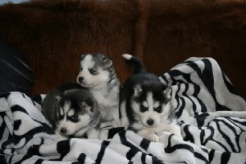 CKC Siberian Husky Puppies for free adoption