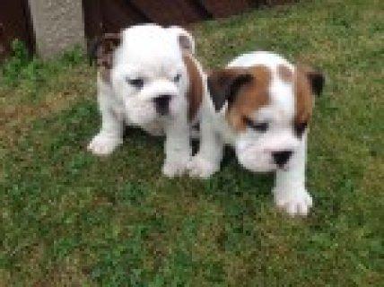 Kc Reg! British Bulldog Puppies