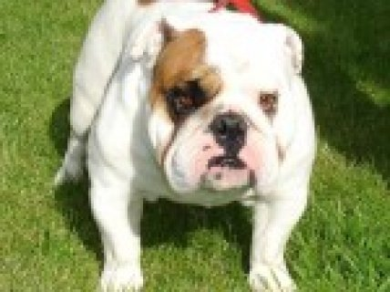 British Bulldog One Red And White Girl