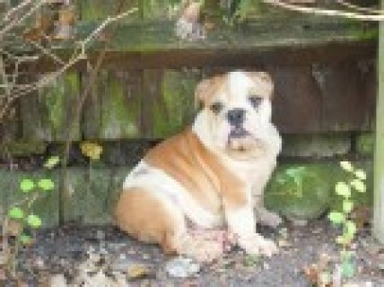 Show Quality Kc Reg Bulldog Puppies