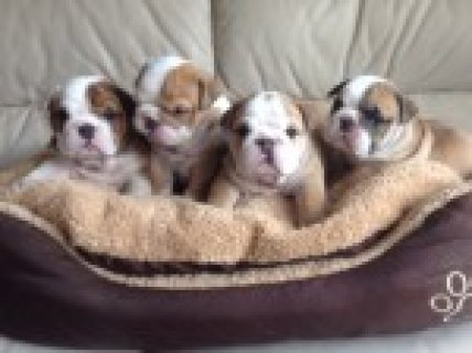 5 Champ English Bulldog Pups For Sale