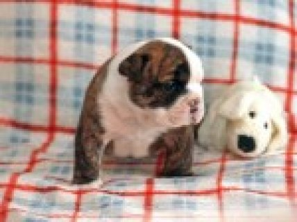 Available Quality Bulldogs Puppies