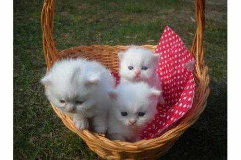صور Sweet Male And Female Tiny Teacup Persian Kittens  1